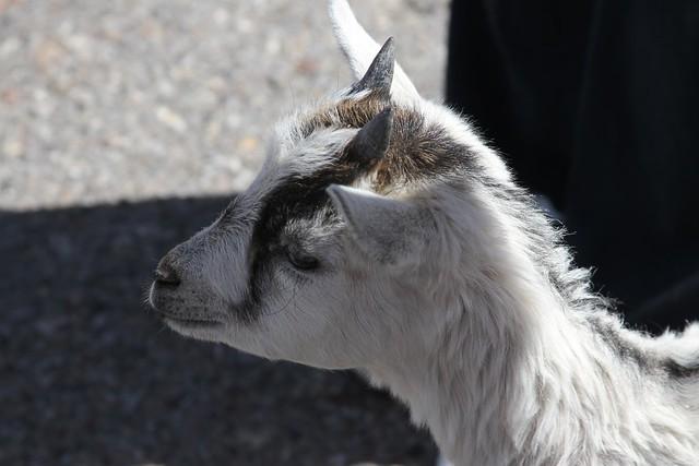 Cute Pigmy Goat