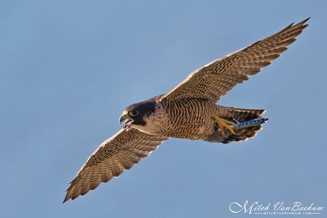 It Was Worth It! (Peregrine Falcon w/Blue Jay)