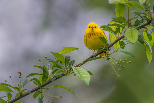 songbird wildlife warbler forest bird spring setophagapetechia migration yellowwarbler yellow perch nature philadelphia pennsylvania unitedstates us