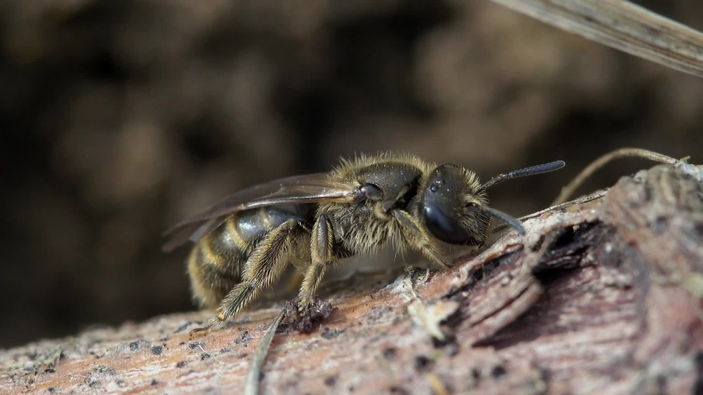 Beeflies and Mining Bees