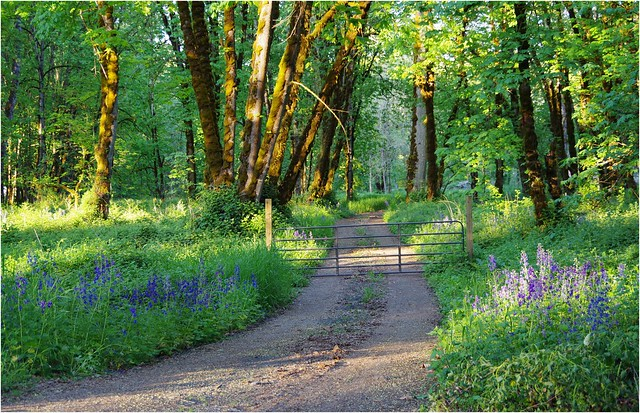 Sagging Gate & Purple Flowers Along Trail through Trees