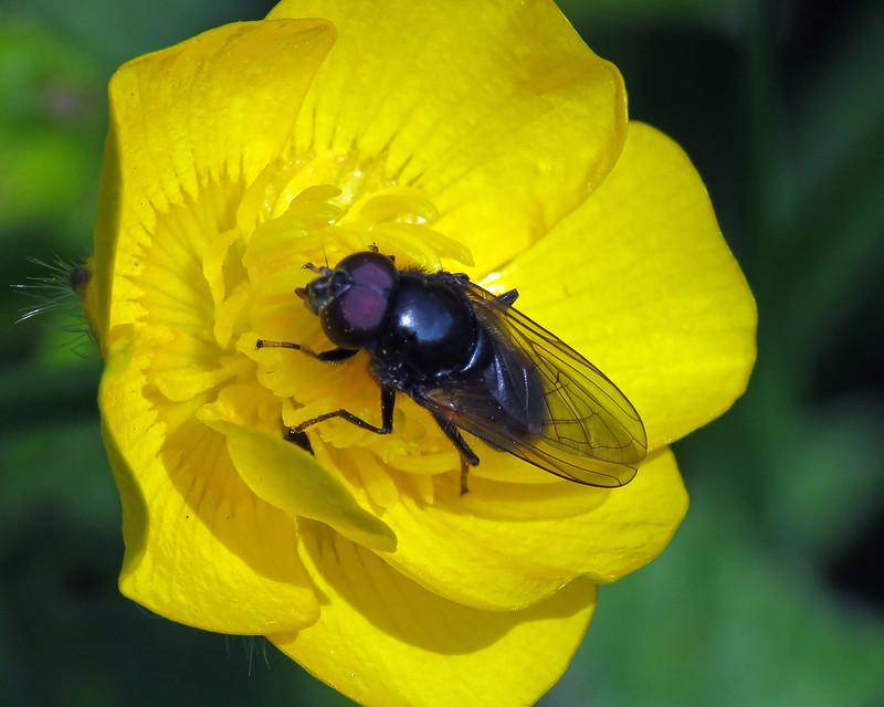 Cheilosia albitarsis agg.