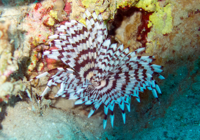 Feather duster Worm, sabellastarte sanctijosephi, House Reef, Na-ma Bay, Sharm El Sheikh