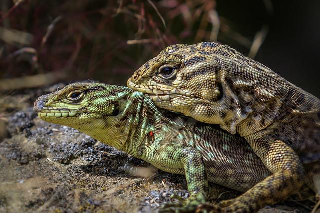 Spiny Whorltail Iguanas