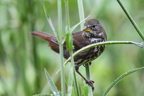 ucbotanicalgarden foxsparrow berkeley california unitedstates us