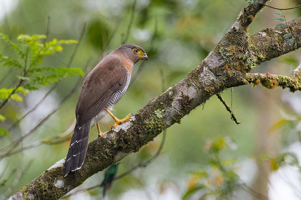 Falcão-caburé (Micrastur ruficollis)