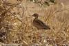 Quail Plover (Ortyxelos meiffrenii), Mora Plains, near Maroua, Cameroon, 2012-03-27 -102.jpg by maholyoak