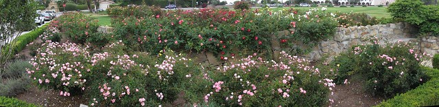 IMG_7874_7 120712 SB Postel rose garden Carefree Delight just roses ICE rm stitch99