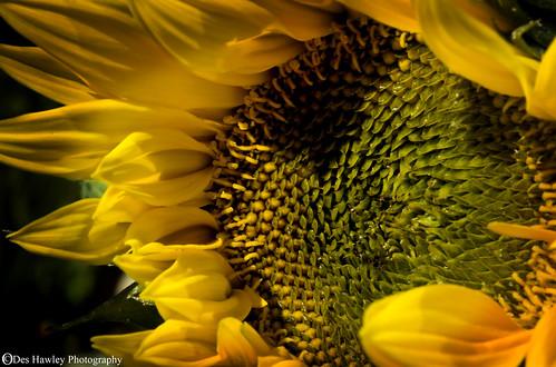 sunflower deshawley