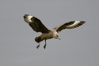 Great Skua (Stercorarius skua) | by Noel Reynolds