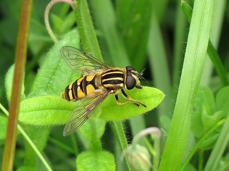 Hoverfly – Helophilus pendulus