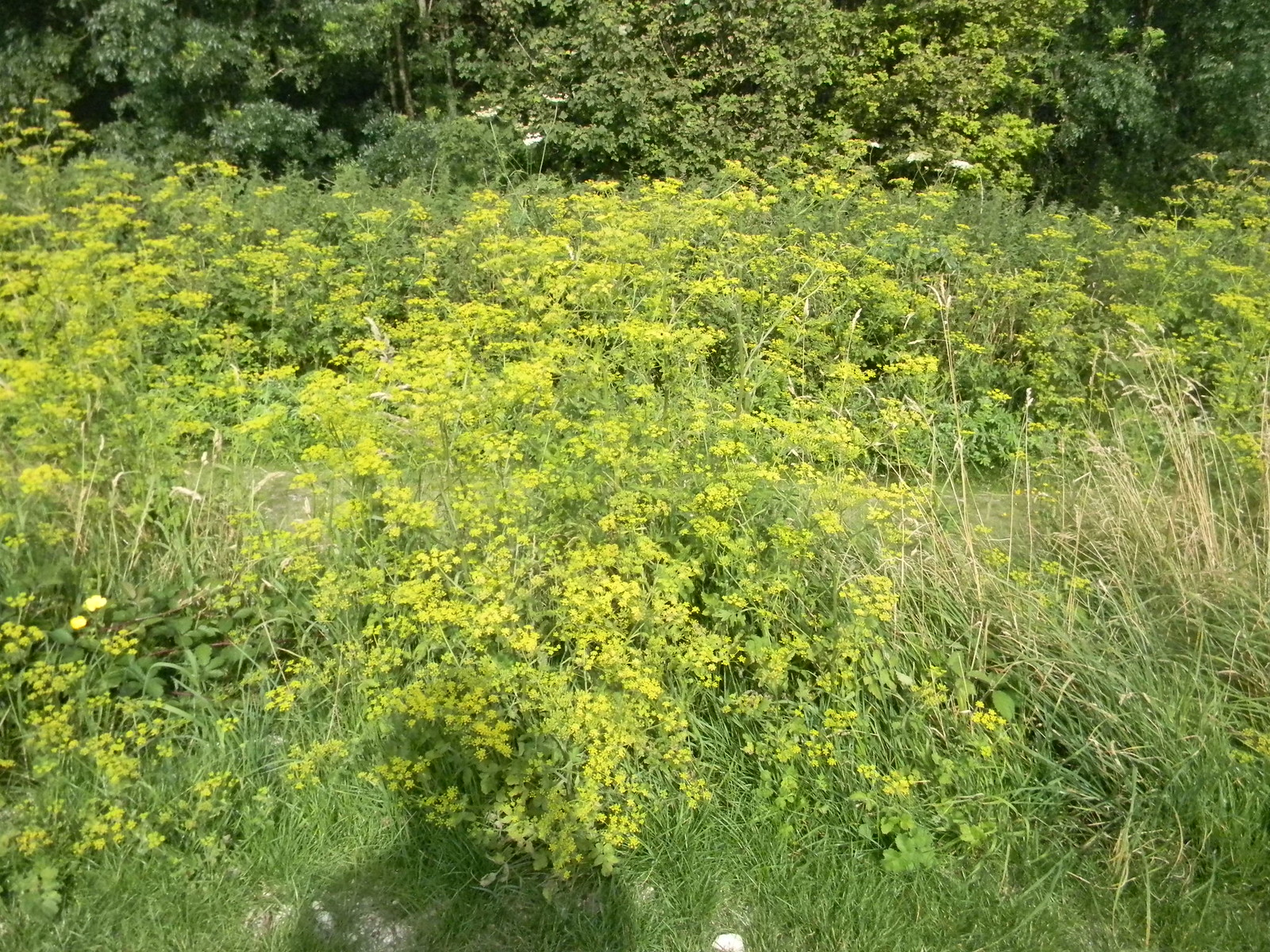 Wild Parsnip The wild version of the edible parsnip.(Not the American version of Giant Hogweed) Amberley to Shoreham