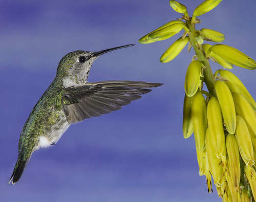 hummingbird hummer annashummingbird poway paintedbackdrop offcameraflash flores avianphotography nature naturephotography yn560iii yn560 yn560ii yongnuorf603n manualmode feeding sharp detail clarity succulent flowers color colorful green