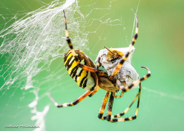 Spiders`snack (Explored)