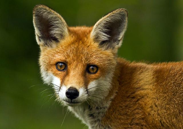Fox-cub_2016