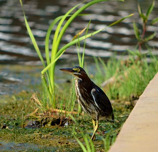 Green Heron | by raowen