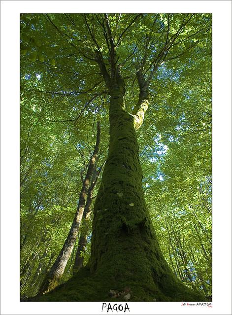 Pagoa eta basoa / Haya y bosque