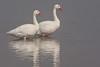 Cisnes Coscoroba by ik_kil