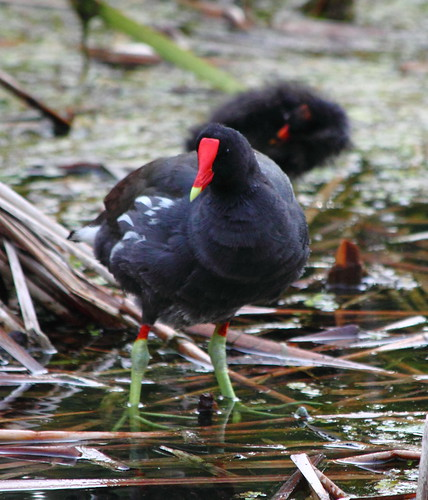 Common Moorhen | by K*Adams