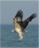 White Bellied Sea Eagle by Aravind Venkatraman