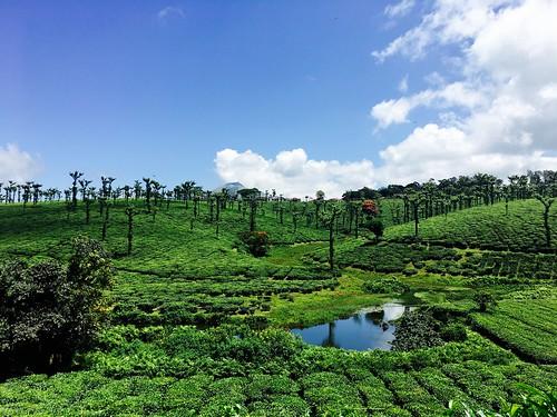 nelliyampathy tea plantation