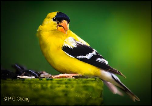 black bird beautiful yellow goldfinch americangoldfinch thegalaxy pcchang flickrstruereflection1 flickrstruereflection2 rememberthatmomentlevel4 rememberthatmomentlevel1 rememberthatmomentlevel2 rememberthatmomentlevel3