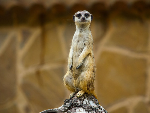 Meerkat  / At the zoo / Novosibirsk / Siberia / 24.07.2012 | by mksystem