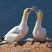 Northern Gannet - Photo (c) Martha de Jong-Lantink, some rights reserved (CC BY-NC-ND)