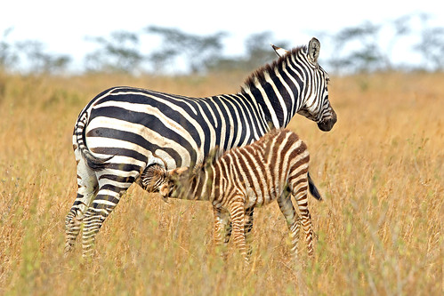 kenya nairobi nairobinationalpark nairobikenya goldwildlife zebramother youngfoal naturesgreenpeace allnaturesparadise zebrasuckling macswildpixels