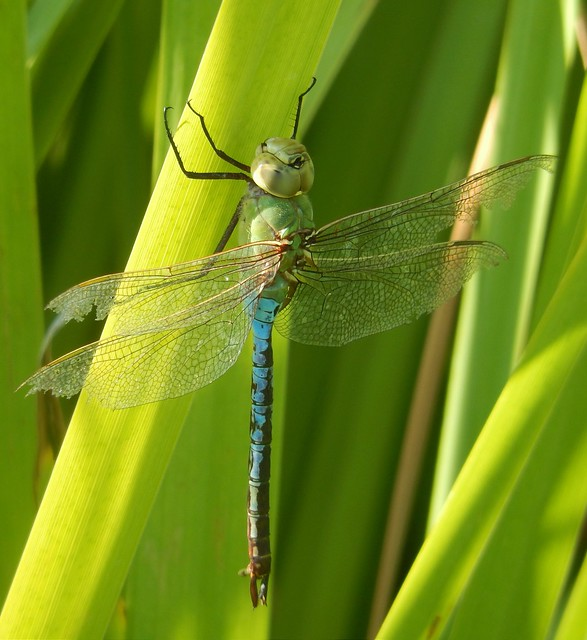 Common Green Darner Dragonfly, Davis