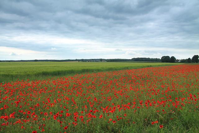 Welwyn Poppy Fields