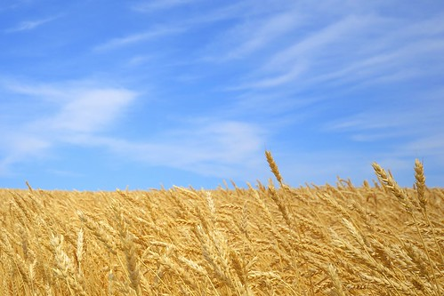 Fields of gold and skies of blue | by Jamie McCaffrey