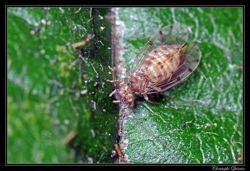 Ectopsocus petersi