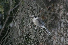Grey Jay Rockies (Cowley)