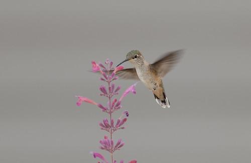 urban nikon colorado hummingbird coloradosprings d300 hybridhummingbirdmint darinziegler afsvriinikkor300mmf28gifed agastachedesertsunrise®