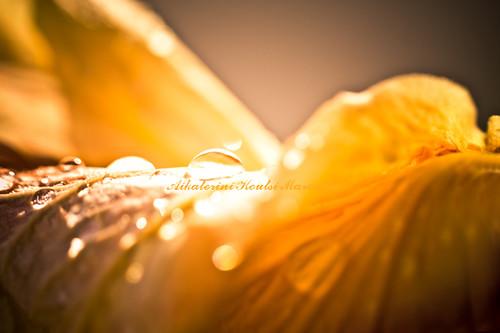 morning light abstract flower texture sunrise vintage saturated waterdrop bokeh drop minimal petal hibiscus dew transparency raindrop beaming canoneos40d kotsifi aikaterinikoutsimarouda