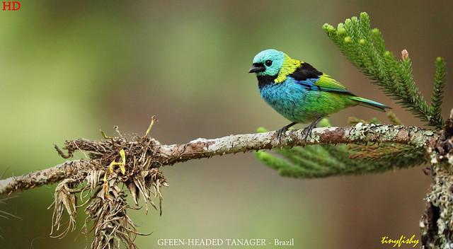 (#806d) Green-Headed Tanager - [ Itatiaia National Park, Brazil ]