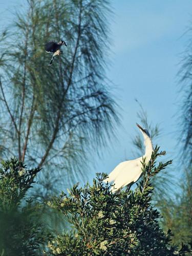 Blue Jay attacks egret 02-20160915