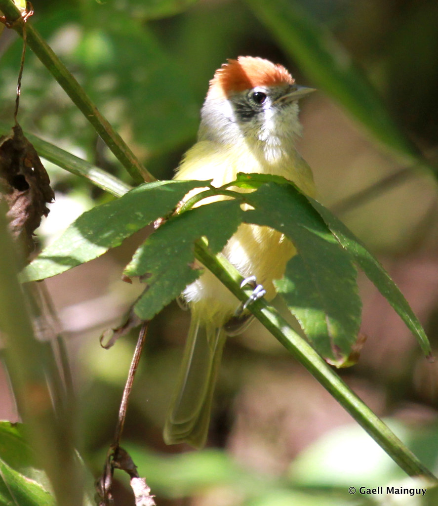 Rufous-crowned greenlet
