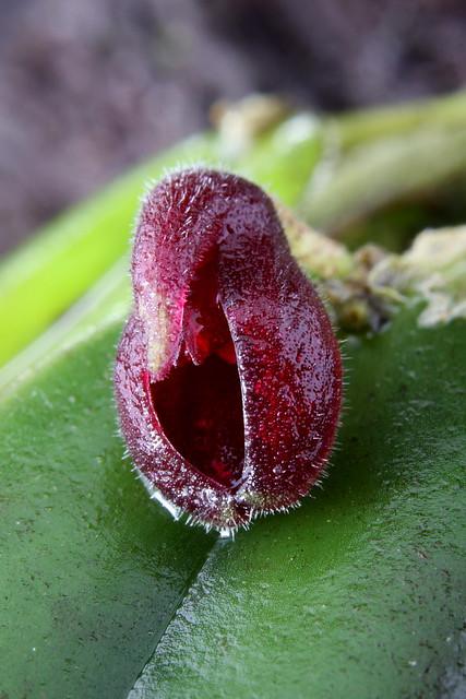 Dresslerella hispida