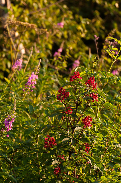Fireweed and Elderberry 2