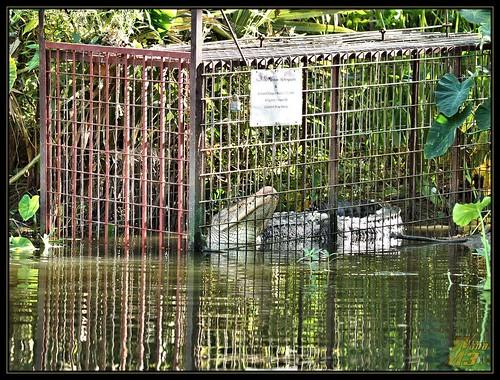 nature texas reptile wildlife alligator research pasadena canoeing paddling trap armandbayounaturecenter horsepenbayou wanam3