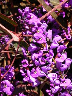 Hardenbergia violacea, Purple Twining-pea