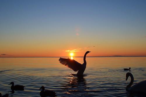 morning sun lake ontario canada water burlington sunrise nikon wildlife swans iamcanadian d5100