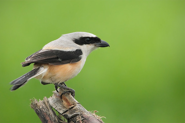 Long-tailed Shrike with a short looking tail
