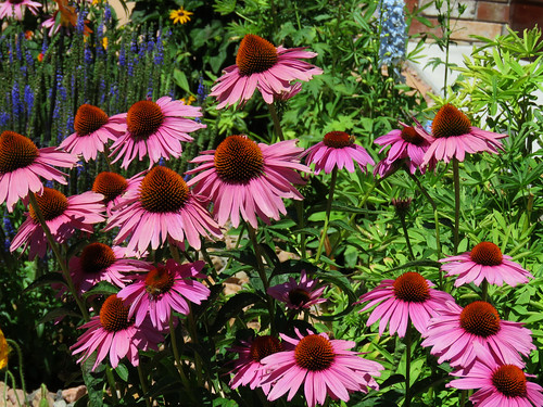 flowers coneflowers montrosecolorado colorado