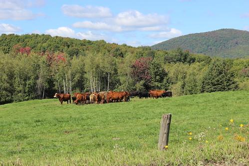 cows québec quebec canada estrie easterntownships cattle farm rural pasture