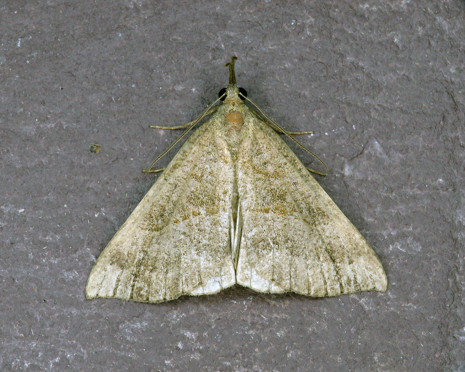 72.003 Snout - Hypena proboscidalis