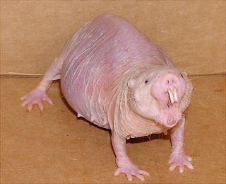 naked mole rat   by Jedimentat44