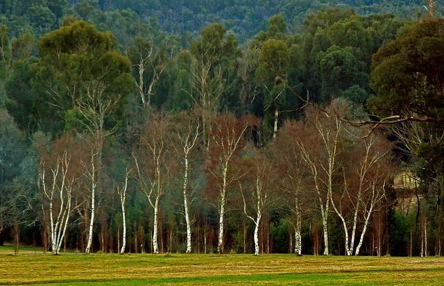 Australian Landscapes - Beech & Eucalyptus trees   Melbourne VIC AU  07Jul12 sRGB web